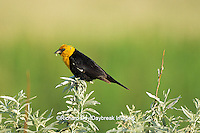 01629-001.20 Yellow-headed Blackbird (Xanthocephalus xanthocephalus) male with food   ND