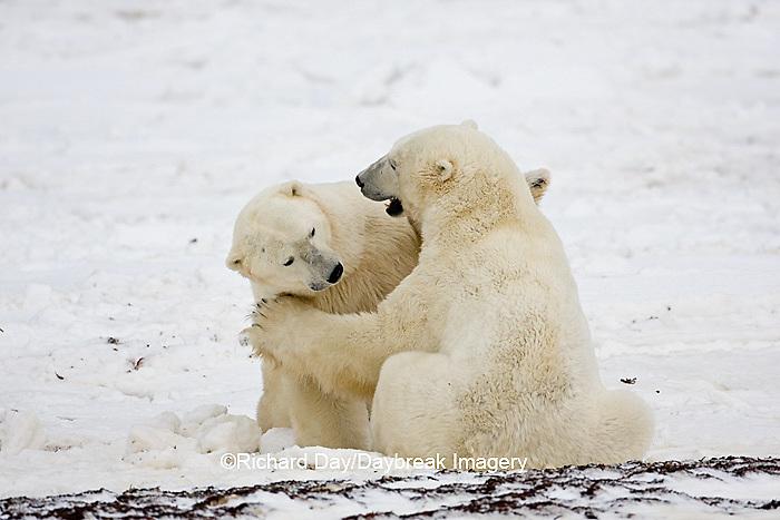 01874-11315 Polar Bears (Ursus maritimus) sparring, Churchill Wildlife Management Area MB