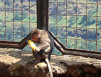 Stock image of Monkey eating maize sitting near iron fence overlooking magnificent valley of Khandala, Maharashtra.