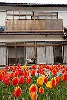 Tulips in the garden  of a house in the abandoned village of Tsushima in rural Fukushima near the exclusion zone, Fukushima Japan. Wednesday May 5th 2011. After the explosions at the Daichi nuclear plant caused by the March 11th 2011 earthquake and tsunami. High levels of radioactive contamination in this village have made it uninhabitable.