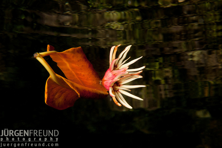 Floating mangrove flower and leaf with reflection. North Raja Ampat, West Papua, Indonesia