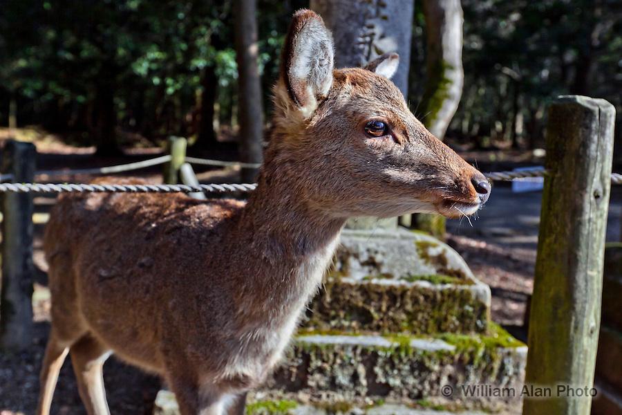 Japanese Deer in Nara Japan January 2010