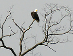 """Bald Eagle, seen near the Saugerties Lighthouse,  during the """"Signs of Spring"""" nature walk guided by Steve Chorvas, and co-sponsored by the Esopus Creek Conservancy and the John Burroughs Natural History Society, on Saturday, March 22, 2014. Photo by Jim Peppler. Copyright Jim Peppler 2014, All rights Reserved."""