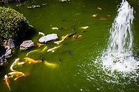 A water fountain sprays into the air in the koi pond while fish gather for feeding time at San Mateo City Park's Japanese Garden.