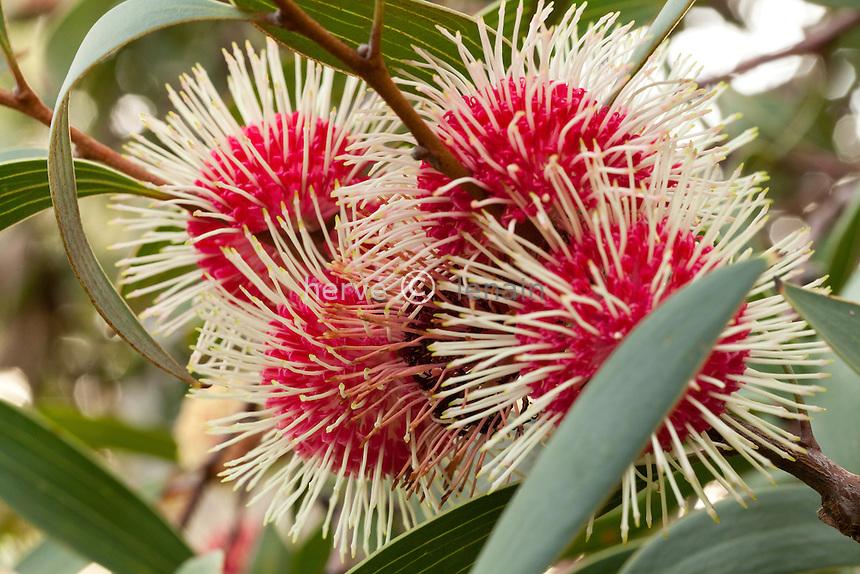 Domaine du Rayol en novembre : dans le jardin australien, Hackea lorina