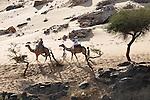 Chameaux en Egypte