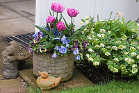 Tulips tulipa and pansies Viola in pot container and duck ornament with Helleborus in spring bloom