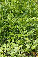 Liebstöckel, Liebstöckl, Maggikraut, Blatt, Blätter, Levisticum officinale, Lovage