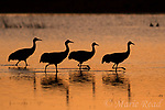 Greater Sandhill Cranes (Grus canadensis) four silhouetted as they walk through water at sunset, Bosque Del Apache National Wildlife Refuge, New Mexico, USA