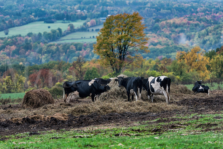 Steer graze on hay in a hilly autumn pasture, Watkins Glen, New York, USA
