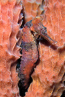 Longsnout seahorse, Hippocampus reidi, are found in the tropical Atlantic . They use their tail to hold onto sea fans and grasses and change color to match their surroundings, Caribbean, Atlantic Ocean