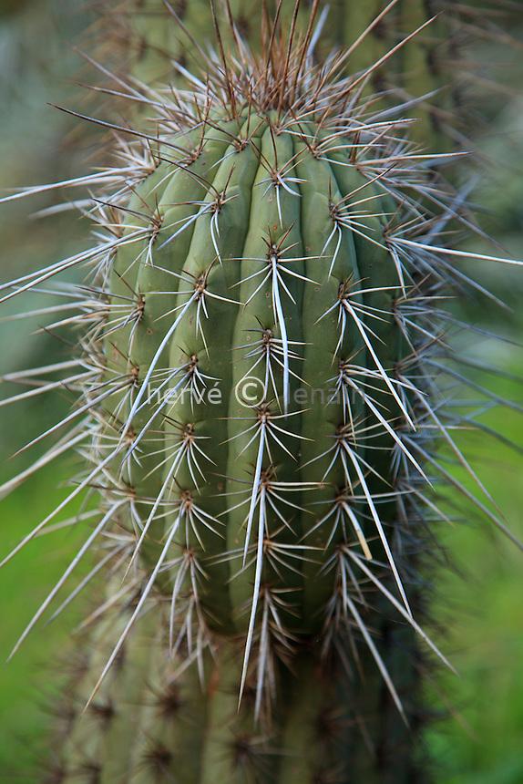 Le domaine du Rayol en f&eacute;vrier : le jardin chilien avec cact&eacute;es quisco (Echinopsis chiloensis).<br /> <br /> (mention obligatoire du nom du jardin &amp; pas d'usage publicitaire sans autorisation pr&eacute;alable)