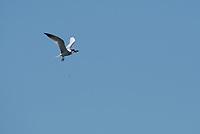 Caspian Tern, Hydroprogne caspia, carrying a fish in its bill as it flies over San Francisco Bay at Cesar Chavez Park, Berkeley, California