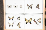 butterfly, insect, specimens, collection, Rocky Mountain National Park, Rocky Mountain Butterfly Project, research
