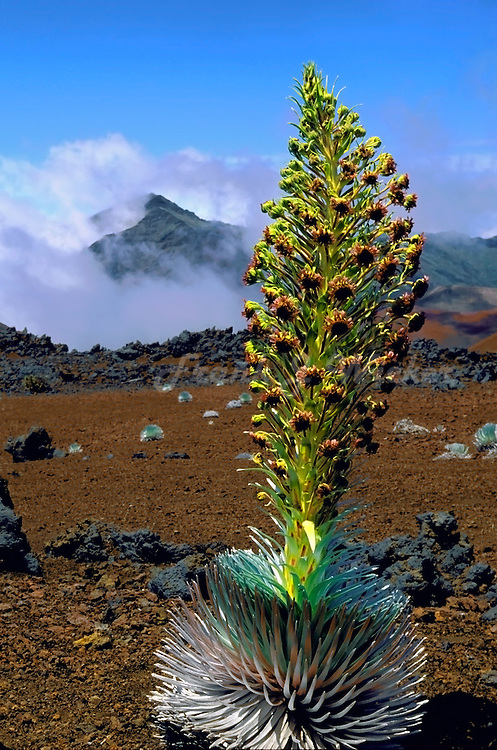Classic beauty of a mature Silversword in full bloom in HALEAKALA NATIONAL PARK on Maui in Hawaii