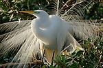 Great Egret, Casmerodius albus, in breeding plumage, Florida Everglades, soft white feathers.USA....