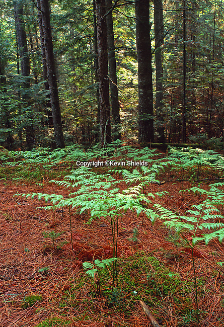Bracken ferns in a forest, Lincolnville, Maine, USA
