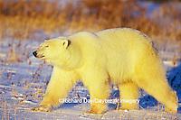 01874-07416 Polar Bear (Ursus maritimus) walking Churchill  MB