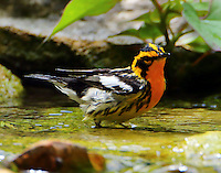 Adult male Blackburnian warbler bathing