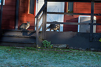Raccoon (Procyon lotor) and house cat on house porch.  Pacific Northwest.  Fall.
