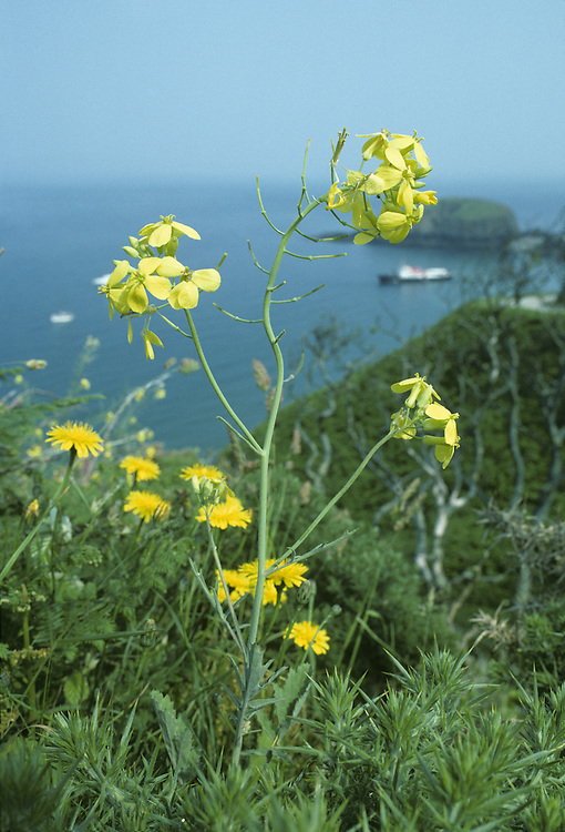 Lundy Cabbage (Coincya wrightii). HEIGHT to 90cm. Entirely restricted to the island of Lundy in the Bristol Channel. It is easy to spot if you visit the island in spring or early summer (May-July), when it's showy heads of bright yellow flowers can be seen on either side of the road that leads from the landing bay to the village.