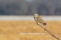 01113-02008 Short-eared Owl (Asio flammeus) Prairie Ridge State Natural Area Marion Co. IL