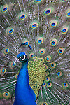 Peacock male displaying ( Pavo cristatus)
