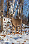 White-tailed doe deep within the winter forest.