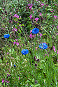 Cornflowers (Centaurea cyanus) and Red campion (Silene dioica), Vann House and Garden, Surrey, mid June.