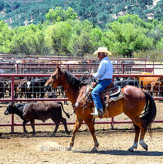 Cowboy sorting calves at a cattle roundup <br />