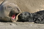 Female vocalizing to pup. Northern elephant seal.