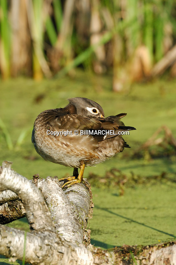 00360-089.10 Wood Duck (DIGITAL) hen on a log over a marsh containing duck weed and cattails is preening.  Wetland.  V4L1