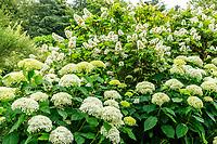France, Loir-et-Cher (41), Cheverny, château de Cheverny, le Jardin des apprentis, massif d'hortensias 'Anabelle' (Hydrangea arborescens 'Annabelle') et d' hortensia à feuilles de chêne, (Hydrangea quercifolia) derrière