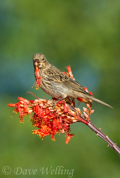 528800252v a wild female house finch podocarpus mexicanus feeds on a flowering ocotillo foqueria splendens plant in southern arizona