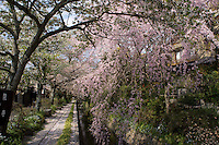 cherry tree in philosophers alley, Kyoto, Japan.