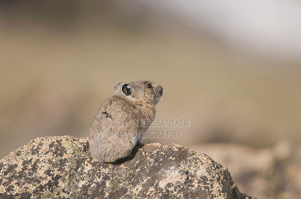 American Pika, Ochotona princeps,adult on rock,Rocky Mountain National Park, Colorado, USA, June 2007