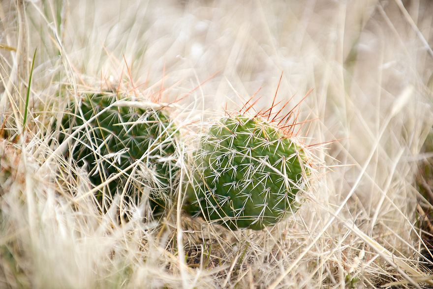 A prickly pear cactus grows in the prairie grass at First Peoples Buffalo Jump State Park near Ulm, Montana.