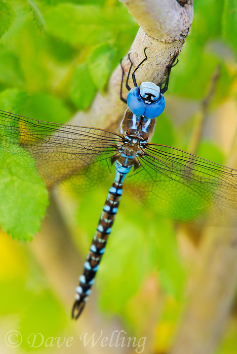 339360038 a wild male blue-eyed darner rhionaeschna multicolor perches on a tree branch along the owens river near bishop inyo county california