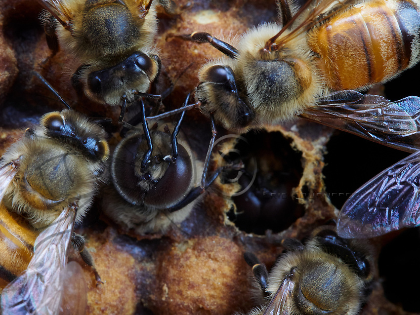 The birth of drones in a brood surrounded by nurse bees. The drone is born 24 days after the egg is laid and it lives approximately 50 days. The drone is the only fertile depositary of the queen's genes. It is responsible for the transmission of the genes from the queen (its mother). Like all the bees, three days after the eggs have hatched the drone larvae are first fed royal jelly. Then, the nurse bees change the food to a mix of honey and pollen. Unlike the diet of the worker bee larvae, that of the drones includes more honey.<br /> Naissance d'un faux-bourdon sur le couvain entour&eacute; de nourrices. Le faux-bourdon na&icirc;t 24 jours apr&egrave;s la ponte et il vit 50 jours environ. Le Faux bourdon est le seul d&eacute;positaire fertile des g&egrave;nes de la reine. Il est le garant de la transmission des g&egrave;nes de la reine (sa m&egrave;re). Comme toutes les abeilles, les larves de faux-bourdons sont d'abord nourries de gel&eacute;e royale trois jours apr&egrave;s l'&eacute;closion de leurs &oelig;ufs. Ensuite, les nourrices vont changer cette nourriture en m&eacute;lange de miel et de pollen. Contrairement &agrave; l'alimentation des larves ouvri&egrave;res, celle des faux-bourdons comportera plus de miel.