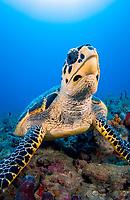 hawksbill sea turtle, Eretmochelys imbricata, critically endangered species, Palm Beach, Florida, USA, Atlantic Ocean