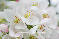 63808-03016 Flowering Crabapple 'Sugartyme' (Malus sp.) blooms, Marion Co, IL