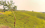 Tea Plantations carpet the hillsides in .Western Uganda
