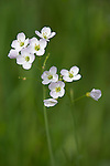 Cuckoo flower, Lady's Smock, Cardamine pratensis, Cumbria, UK .