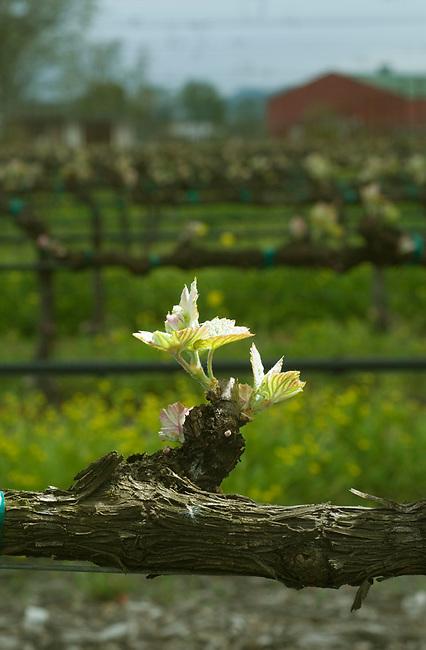 Bud break on vineyard near rutherford, ca