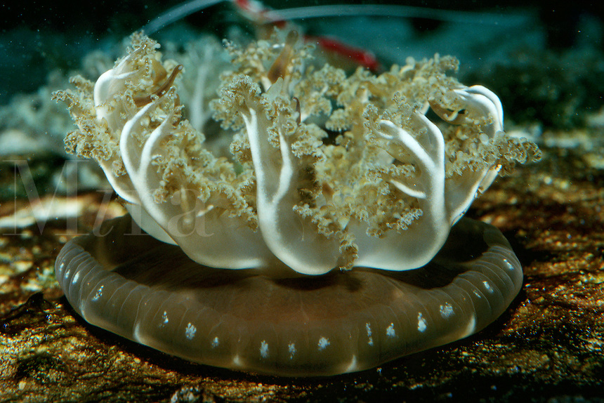 Mangrove upsidedown jellyfish, Cassiopea xamachana, Caribbean, Atlantic Ocean