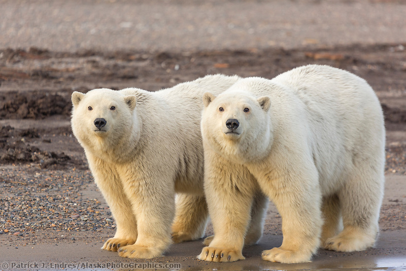 Two polar bear cubs look curiously from the shore of Alaska's arctic coast.