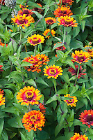 Zinnia Zowie! Yellow Flame, AAS Winner 2006, annual flowers