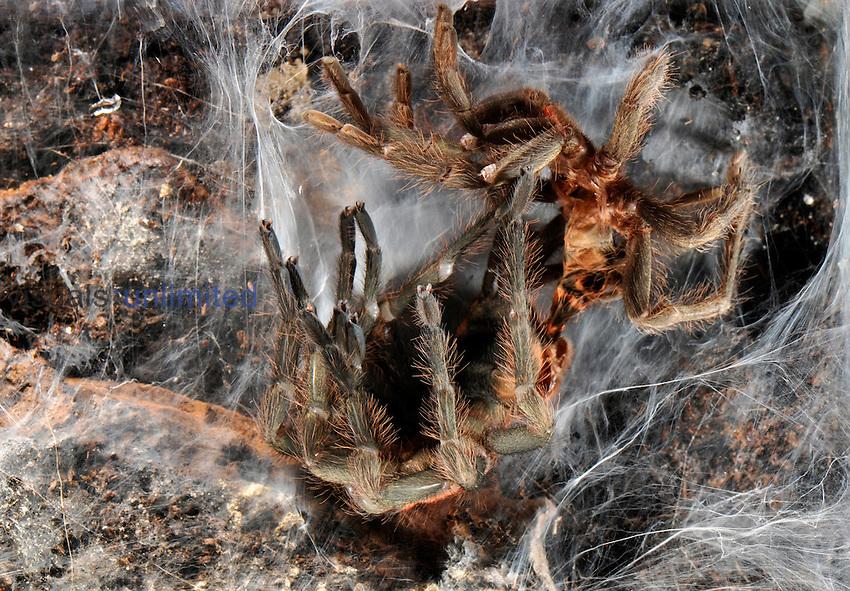 Complete moulting process in tarantula, Davus fasciatus, Central America