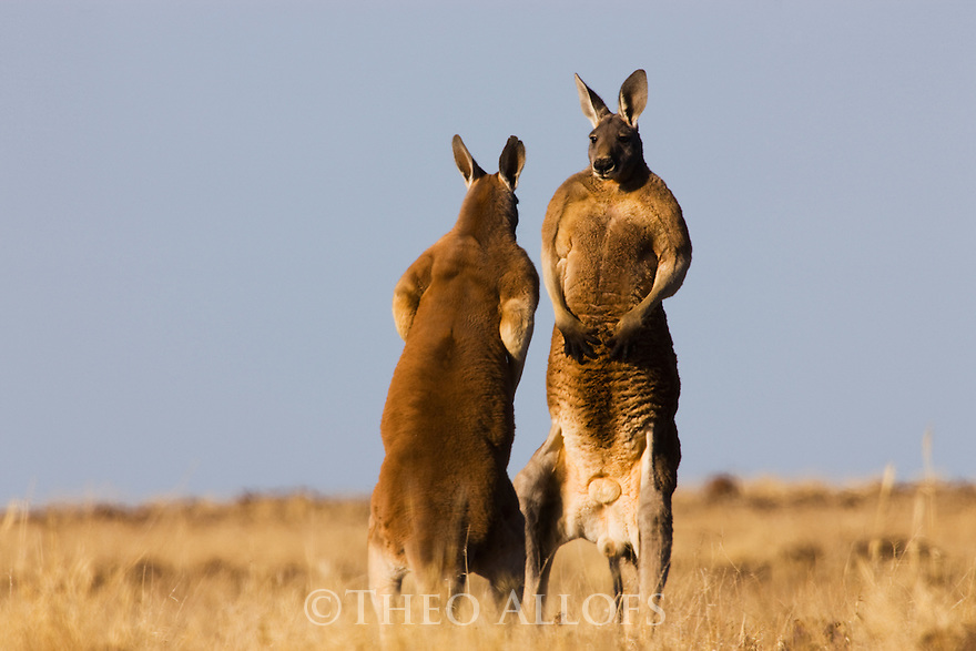 Australia,  NSW, Sturt National Park; adult red kangaroo males facing each other before fight over female (Macropus rufus); the red kangaroo population increased dramatically after the recent rains in the previous 3 years following 8 years of drought