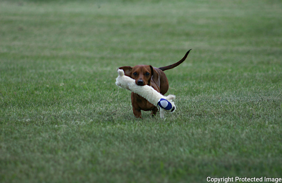 Dashund Fetching Toy